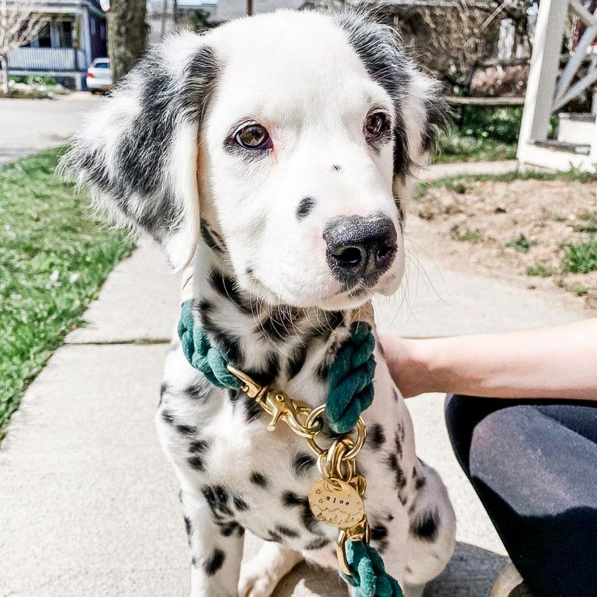 dalmatian dog green leash